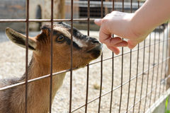 A baby goat sniffing a visitors hand. Stock Photos
