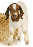 Baby goat standing Royalty Free Stock Photos