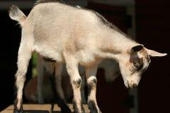 Baby goat standing Stock Photos