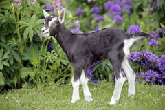 Baby Goat standing in garden Royalty Free Stock Photo