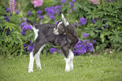 Baby Goat standing in garden by flowers Royalty Free Stock Photography