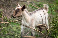 Baby goat on a pasture. Baby goat standing on a pasture, Greece Royalty Free Stock Photo