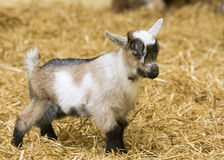 A baby goat standing on straw Stock Photography