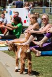 Baby Goat Struts Among Women Stretching At Yoga Class royalty free stock photography