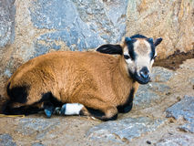 Baby goat taking a rest near sheepfold Royalty Free Stock Images