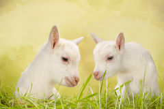 Baby goat twins Royalty Free Stock Photos