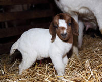 Baby Goat Royalty Free Stock Image