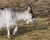 Baby goat walking Stock Photos