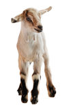 Baby goat on the white background. Isolated image of baby goat standing on the white background royalty free stock images