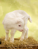 Baby goat on wooden crate Royalty Free Stock Images