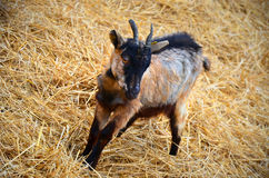 Baby goat on a yellow straw bedding Stock Images