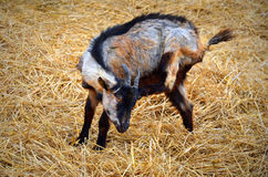 Baby goat on a yellow straw bedding Stock Photo