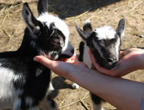 Baby goats Royalty Free Stock Images