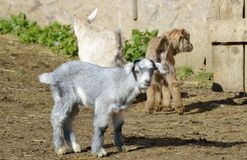 Baby Goats Royalty Free Stock Photo