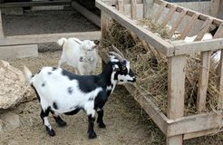 Baby goats eating hay Royalty Free Stock Photography