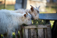 Baby goats eating hay Stock Photos