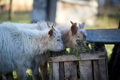 Baby goats eating hay Stock Images