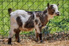 Baby goats in the farm fence. A baby goats in the farm fence stock image