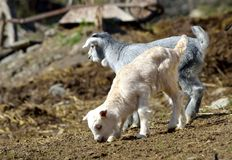Baby Goats Royalty Free Stock Image