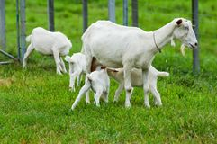 Baby goats with mum Royalty Free Stock Photos