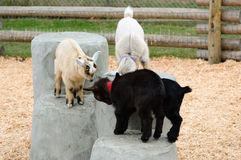 Baby goats playing Royalty Free Stock Photo