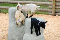 Baby goats playing stock photography