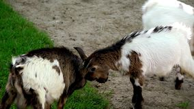 Baby goats playing in farm zoo stock video