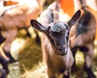 Baby goats portraits Royalty Free Stock Photo