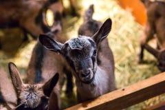 Baby goats portraits Stock Photos