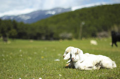 Baby Goats royalty free stock photography