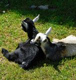 Baby goats resting in the sun. A pair of baby goats resting in the sunlight, on the Amish Farm and House in Lancaster County, Pennsylvania royalty free stock image