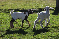 Baby goats Royalty Free Stock Photos