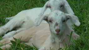 Baby goats stock footage