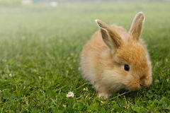 Baby gold rabbit in grass Stock Photography