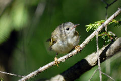 Baby goldcrest bird in firry forest Stock Images