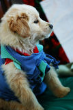 Baby of Golden Retriever Royalty Free Stock Photography