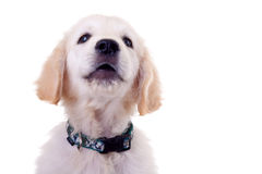 Baby Golden Retriever Portrait Stock Image