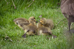 Baby Goose Royalty Free Stock Photography