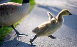 Baby goose Royalty Free Stock Photos