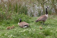 Baby Goose Stock Photos