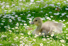 Baby goose in a flowering field Royalty Free Stock Photography