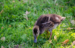 Baby goose Royalty Free Stock Image
