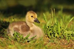 Baby goose in grass Stock Photo