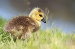 Baby goose in grass Royalty Free Stock Photos
