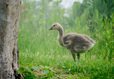 Baby goose on green Royalty Free Stock Photos
