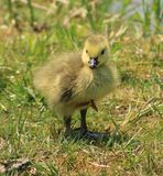 Baby Goose. I just love Springtime when the baby animals start to show up Stock Image