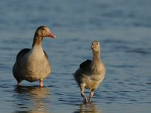 Baby Goose with Mother Goose Royalty Free Stock Photos