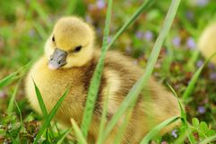 Baby goose Stock Photos