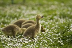 Baby goose opens beak amongst the daisies stock photography