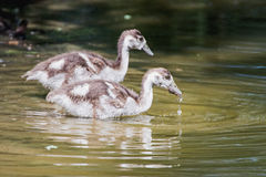 Baby goose. Portrait of two Baby goose in a Pond Royalty Free Stock Photo